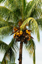 Palm tree coconuts Royalty Free Stock Photos