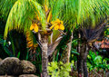 Palm tree and coconuts with at the beach Royalty Free Stock Photos