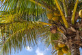 Palm tree with coconuts and blue sky Stock Photo