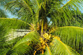 Palm tree with coconuts Royalty Free Stock Photo