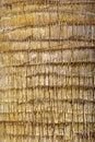 Palm tree - the cortex Royalty Free Stock Photo