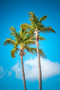 Palm tree date in front of blue sky Royalty Free Stock Images