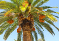 Palm Tree and Dates Royalty Free Stock Photo