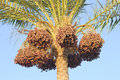 Palm tree with dates Royalty Free Stock Photo
