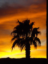 Palm tree on desert sunset silhouette in nevada Stock Images