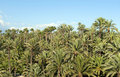 Palm tree forest in Elche, Spain Royalty Free Stock Image
