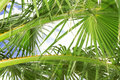 Palm Tree Fronds Royalty Free Stock Photo