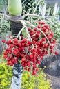 Palm tree fruit Royalty Free Stock Photo