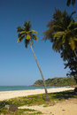 The palm tree goa coconut talpona beach in india Stock Photography