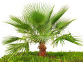 Palm tree on green grass Royalty Free Stock Image