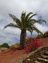 Palm tree on hillside in haria lanzarote Stock Photo