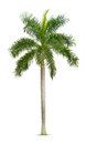Palm tree isolated on white background Royalty Free Stock Photos