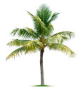 Palm tree isolated on white background Royalty Free Stock Photo