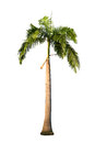 Palm tree isolated on white background Stock Images