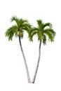 Palm tree isolated. Royalty Free Stock Photo