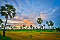 Palm tree landscape in the rice farm in phetchaburi province thailand Royalty Free Stock Photos