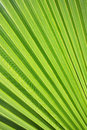 Palm tree leaf close up Stock Photo