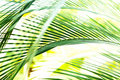 Palm Tree Leaf Motion Blur Royalty Free Stock Image