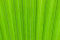 Palm tree leaf texture Royalty Free Stock Photo