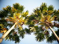 Palm tree leafs under morning sunlight view from bottom Royalty Free Stock Photo
