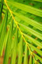 Palm tree leaves Royalty Free Stock Images