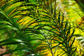 Palm tree  leaves - Neodypsis - abstract Stock Image