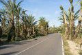 Palm tree lined road leading through a plantation Royalty Free Stock Image