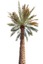 Palm tree with a long barrel. bottom up view. Royalty Free Stock Photo