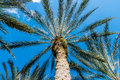Palm tree looking up Royalty Free Stock Photo