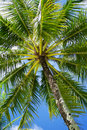 Palm tree low angle view of a on langkawi island in malaysia Stock Images