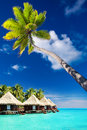 Palm tree on moorea island hanging over lagoon blue Royalty Free Stock Photo