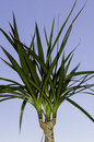 Palm tree plant and blue sky Royalty Free Stock Image
