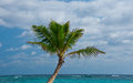 Palm tree punta cana beach dominican republic Royalty Free Stock Photo