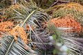 Palm tree seeds picture of and taken in park guell barcelona spain Stock Photography