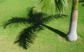 Palm tree with shadow on bright green grass backgorund Royalty Free Stock Photography