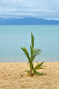 Palm tree sprout on sand sea beach Royalty Free Stock Photo