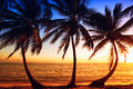 Palm tree sunrise tropic through the coconut palms Royalty Free Stock Photo