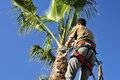 Palm Tree Surgeon at Work Stock Photo