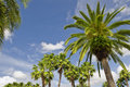 Palm Tree Tops Stock Image