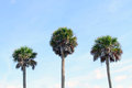 Palm tree tops against sky three trees a blue Royalty Free Stock Image