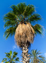 Palm tree trees against blue sky Royalty Free Stock Photo