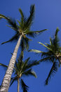 Palm Tree Trio Royalty Free Stock Photo