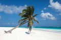 Palm tree in the tulum beach mexico white sand with clear water and Royalty Free Stock Photo