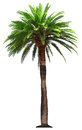 Palm tree - vector illustration Royalty Free Stock Photos