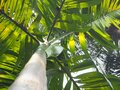 Palm tree, a view from below Royalty Free Stock Photo