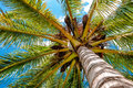 Palm tree viewed from below upwards high above Royalty Free Stock Photo