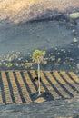 Palm tree in volcanic wineyard area la geria lanzarote Stock Images