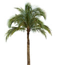 Palm tree on white background coconut isolated without fruit Royalty Free Stock Image