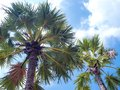 Palm trees on blue sky background. Royalty Free Stock Photo