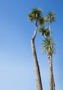 Palm trees against the blue sky Royalty Free Stock Photo